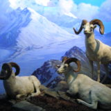 Dall-Sheep
